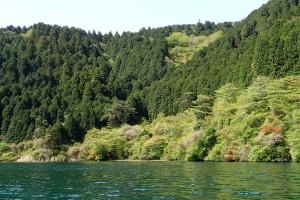 芦ノ湖岸の緑-3